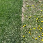 Controlling Broadleaf Weeds in Your Lawn